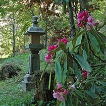 別殿の庭に咲く石楠花