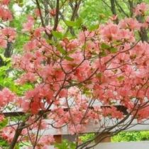 春には・・庭のつつじが咲きます