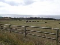 のんびりと草を食む屋久島牛