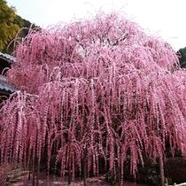 【周辺・景観】八木のしだれ梅