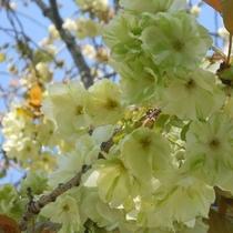 *「西の久保公園」には、緑色の花を咲かせる御衣黄(ギョイコウ)桜 が咲きます!