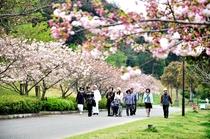 女将と歩こう早朝ウォーキング(ヘルスツーリズム)桜の季節の風景