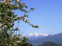 りんごの花と妙高山