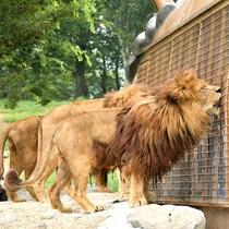 【アフリカンサファリチケット付きプラン】目の前で見る動物は迫力満点!