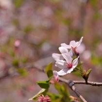 *春になると園内には桜の花が手に触れることができるくらいに