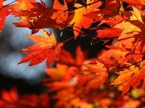 カエデ類の紅葉