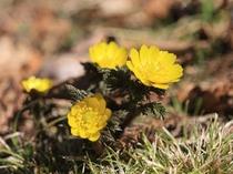 春を告げる花・福寿草