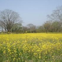 1000万本の菜の花が咲き乱れる春の四万十へ♪