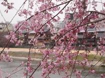 桜(鴨川)