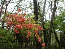 映山湖ガーデンのツツジ
