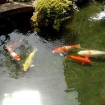 ■日本庭園の鯉■
