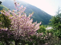 風景 満開の桜