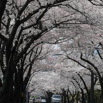 *【伊豆高原_桜並木】春には満開に咲く桜のトンネルをご覧いただけます。