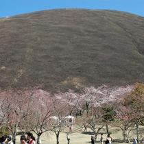*【大室山とさくらの里】伊豆高原の春は、桜がいっぱい咲いています♪