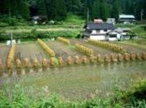 杭掛けの稲