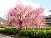 花月楼裏の倉津川の桜