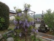 ふじまつり(徳蔵寺)