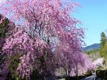 雨情公園のしだれ桜