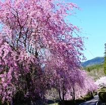 雨情公園 しだれ桜