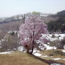 *わらび園の桜