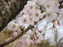 鎮守様の桜