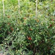 自家栽培のミニトマトです!朝食のサラダに使ってます!