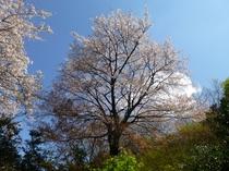 玄関の前の桜の木