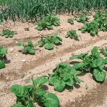 宿近くにある自家農園で野菜を栽培しております