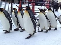 旭山動物園『ペンギンのお散歩』