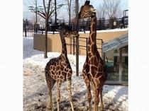旭山動物園の新しくなった『キリン舎』