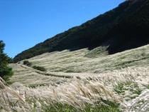 【箱根・仙石原すすき草原】すすきに囲まれた、見渡す限りに黄金色の景色を堪能できます。車で20分