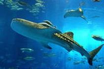 美ら海水族館の人気者!「ジンベイザメ」