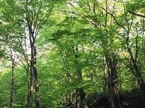 みずみずしいブナの原生林につつまれた高原の温泉♪