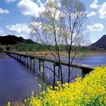 春の風物詩 佐田の沈下橋と『菜の花』