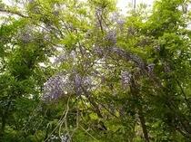 自然園には木の花も色々咲きます(ふじの花)