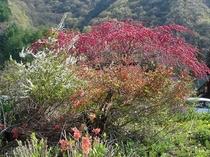 春から秋までの銀河のお花畑(しだれ桃、雪柳、つつじ)