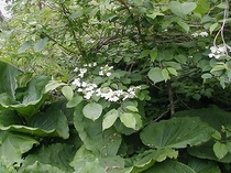 ムシカリ(オオカメノキ)の花