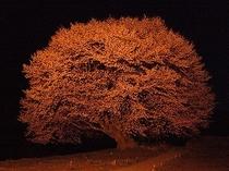 ライトアップの天王桜