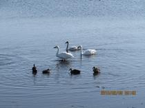 群馬県南部にある多々良沼(館林市他)の渡り鳥 白鳥