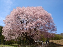 天王桜(武尊地区)樹齢300年以上巨木 見ごろはゴールデンウイーク