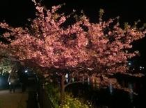 桜祭り夜桜