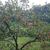 【秩父ふるさと村】柿の木