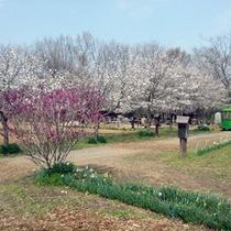 【秩父ふるさと村】春のさくら
