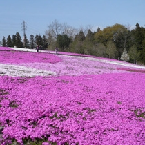 【芝桜】 4月下旬 車で約40分