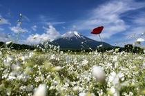 やさしいカスミ草の埋もれた富士山