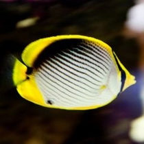色彩が美しいアケボノチョウは目まで模様の一部になっています