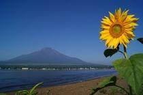 夏らしくひまわりと富士