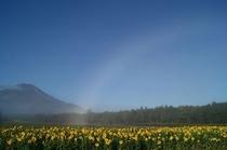 ひまわりと富士山と白い虹