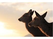 宮島の神鹿