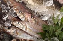瀬戸内産地魚